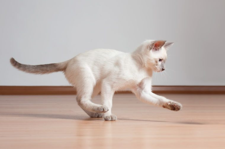Gorgeous playful siamese kitten.