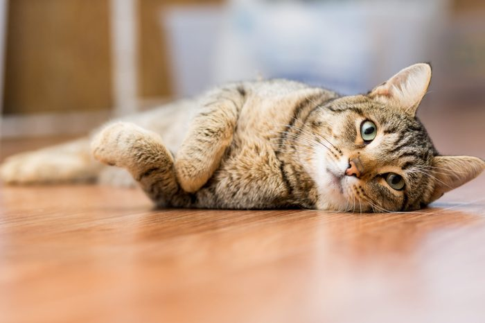 Gray adult mongrel cat lies on the floor stretching the front paws
