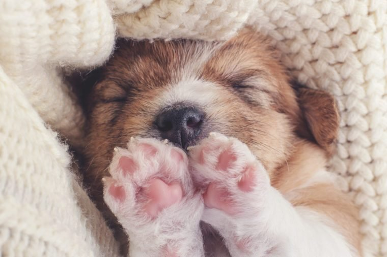Little puppy squinting, closes his eyes and wants to sleep. Tired little dog on a cozy soft background. Small Pet on Human Hands Top View. Baby dog sleeping on his back paws up. Retro Insta Filter