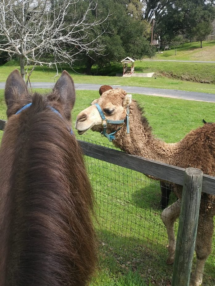 a horse and a camel say hello over the fence