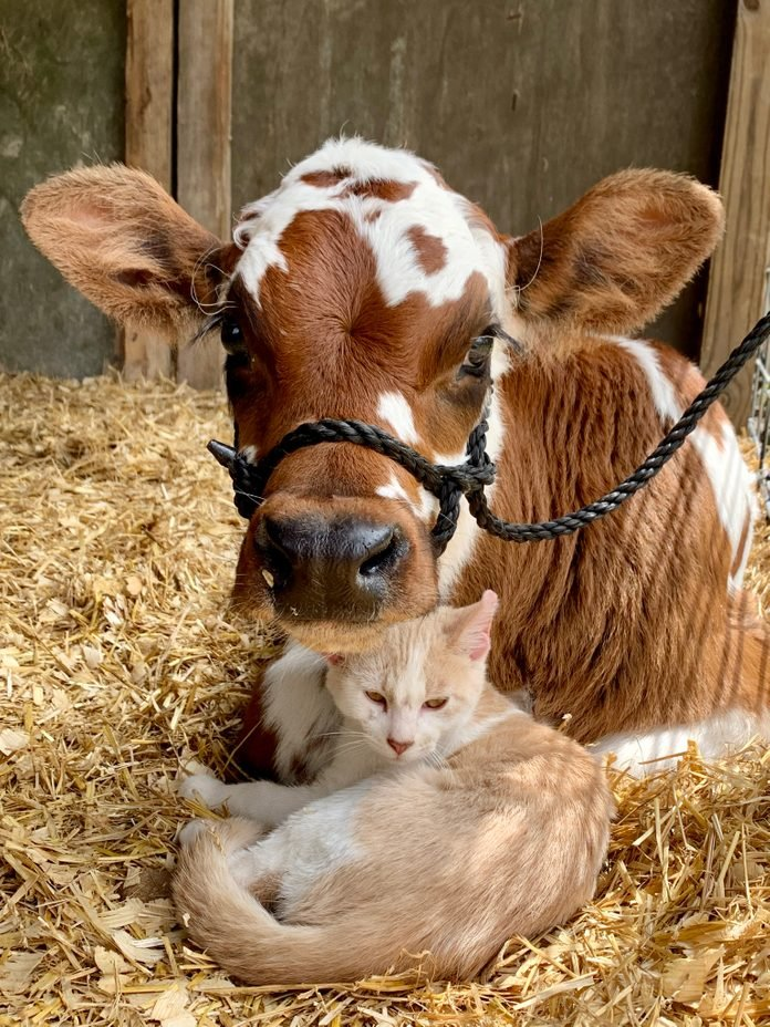 a cat and a cow cuddle in the barn