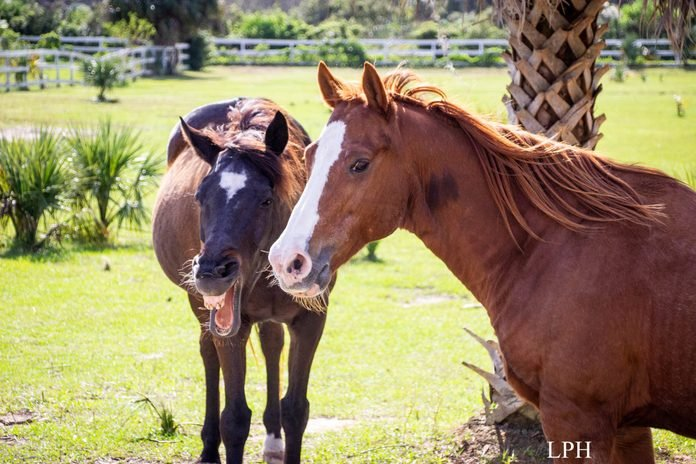 two horses on a sunny day; one laughs