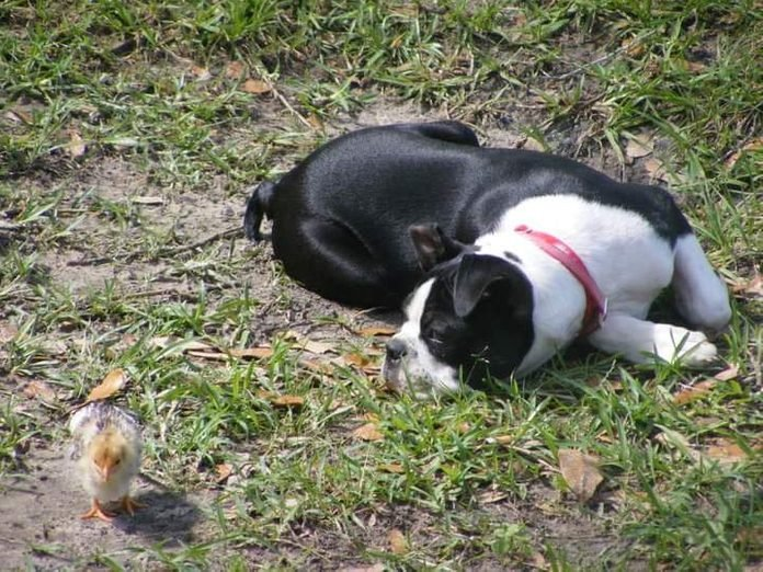 a dog lays in the grass and eyes a small chick nearby