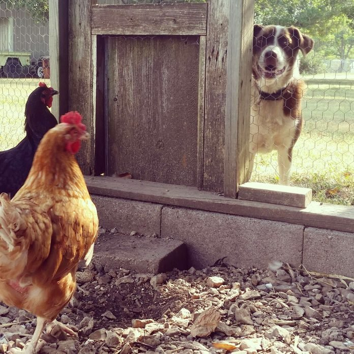 a dog peers in at two chickens in a chicken coop