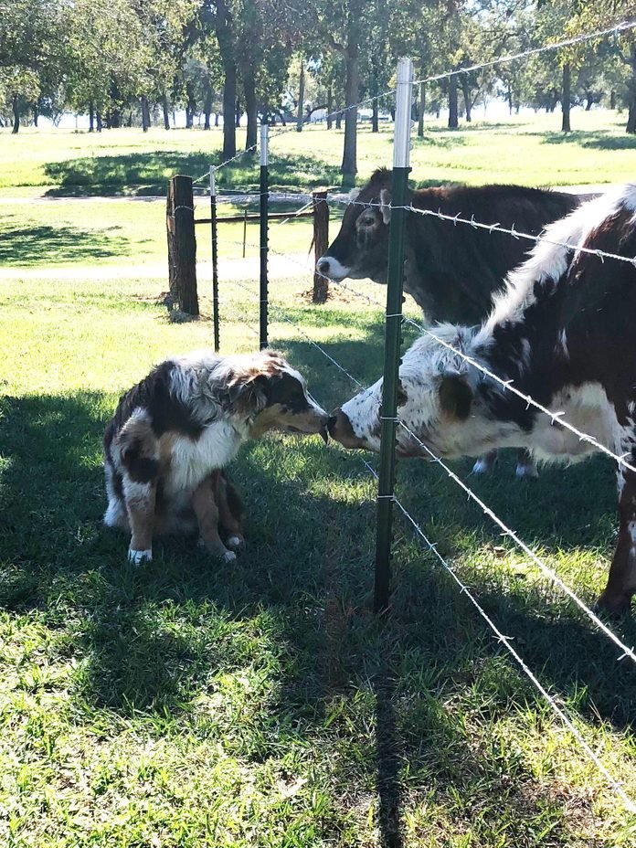 a dog nose-to-nose with a cow on the other side of the fence