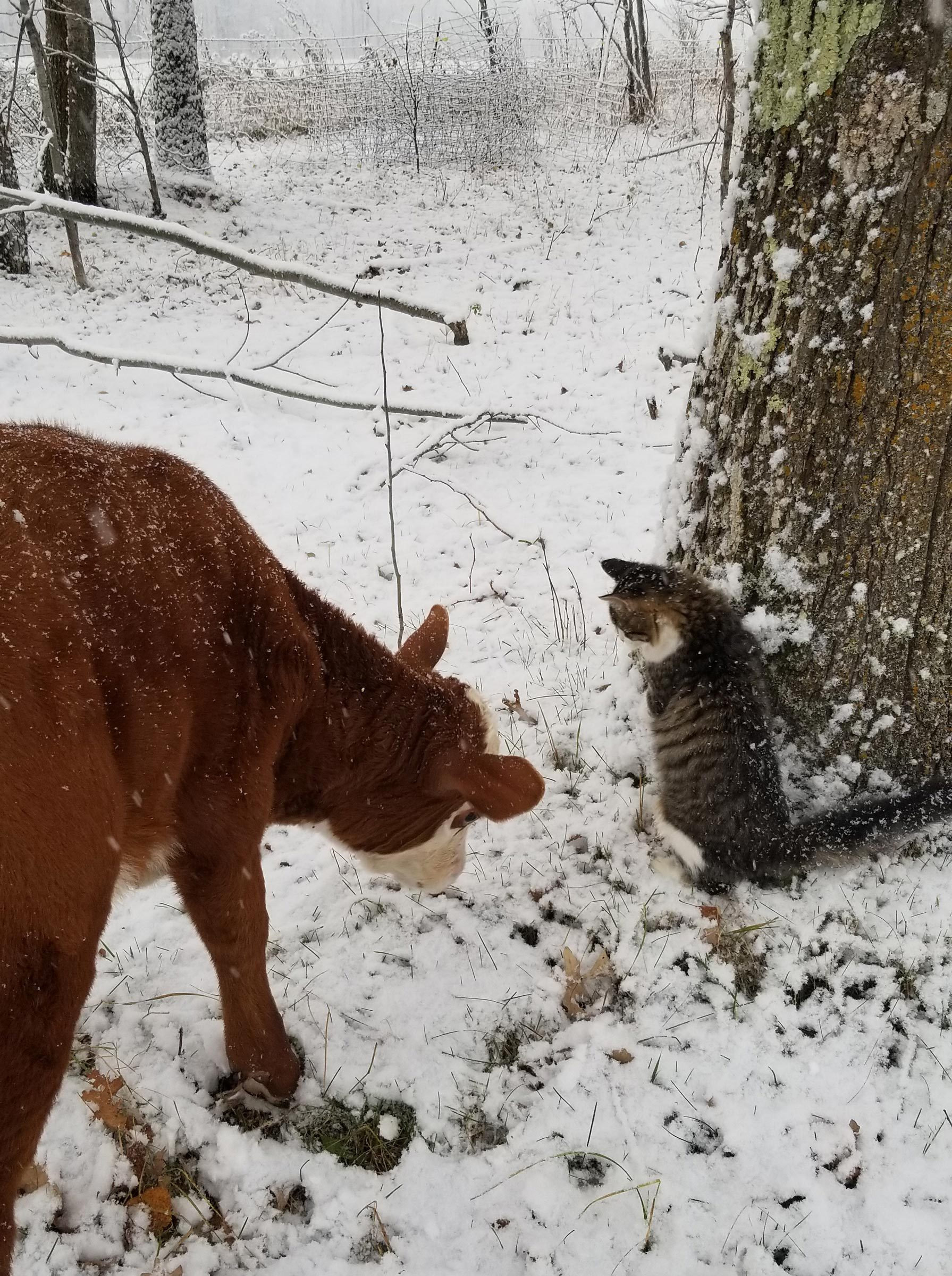 a cow and a cat inspect the snow on the ground
