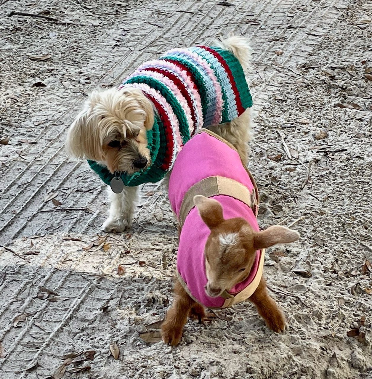 dog in a sweater meets a goat in a sweater