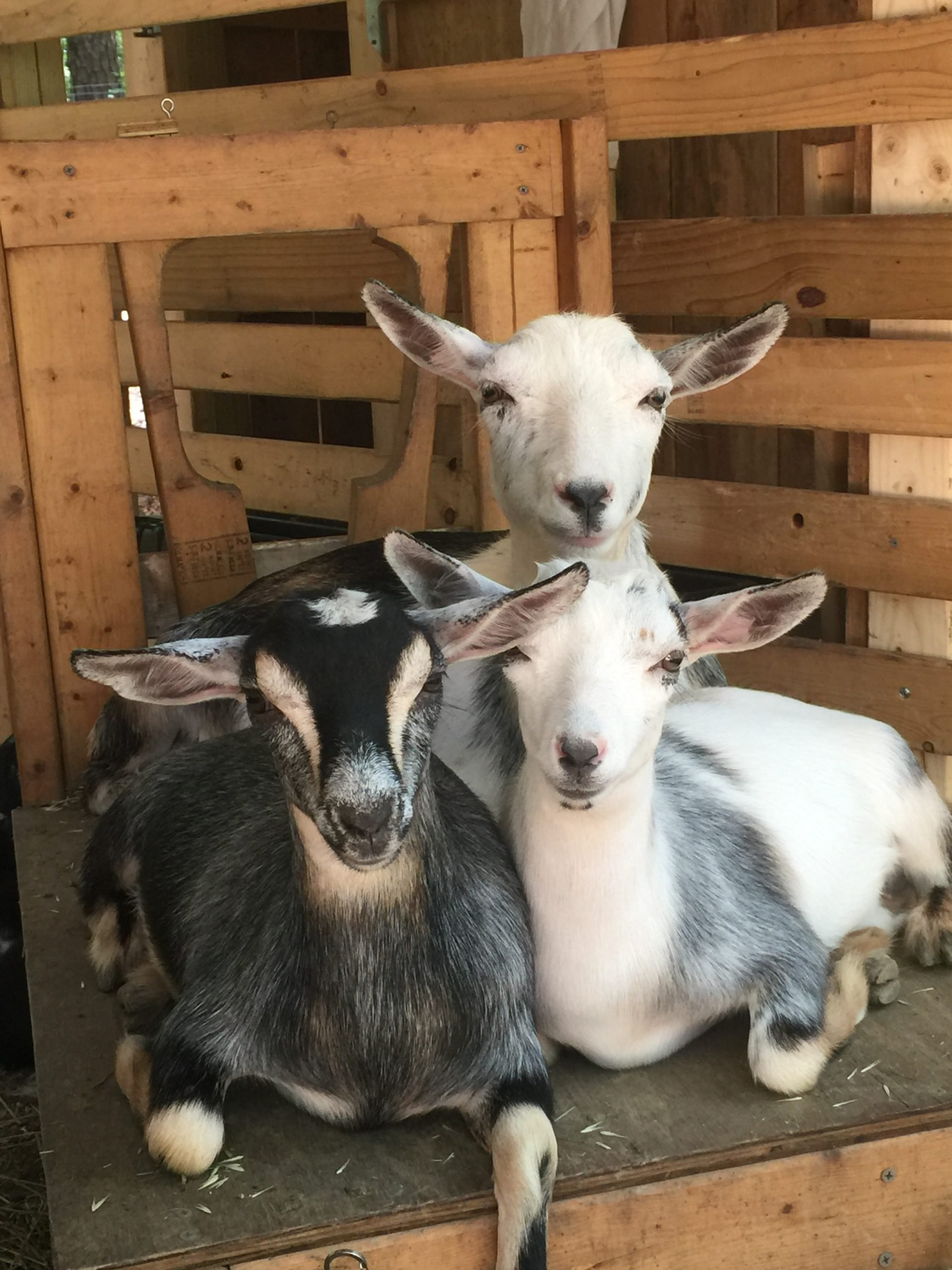 three goats sitting close together on a wooden platform