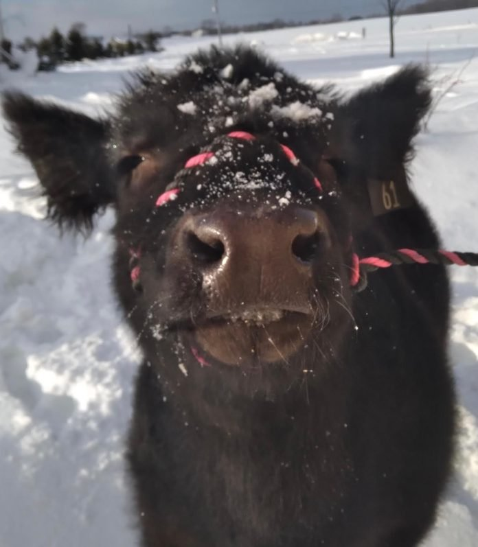 close up of earl the cow in the snow