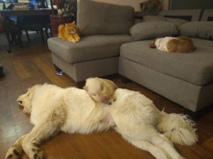 family naptime: on the couch, one cat and one dog; on the floor, one pig on top of one large dog