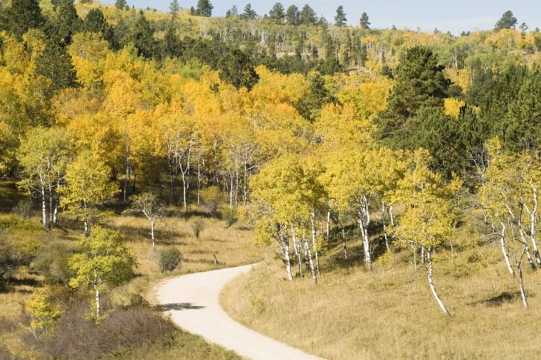 Fall colors in the Black Hills of South Dakota. Aspen Birch Mountain Ash and Ponderosa Pine on a hillside with a gravel road in the foreground