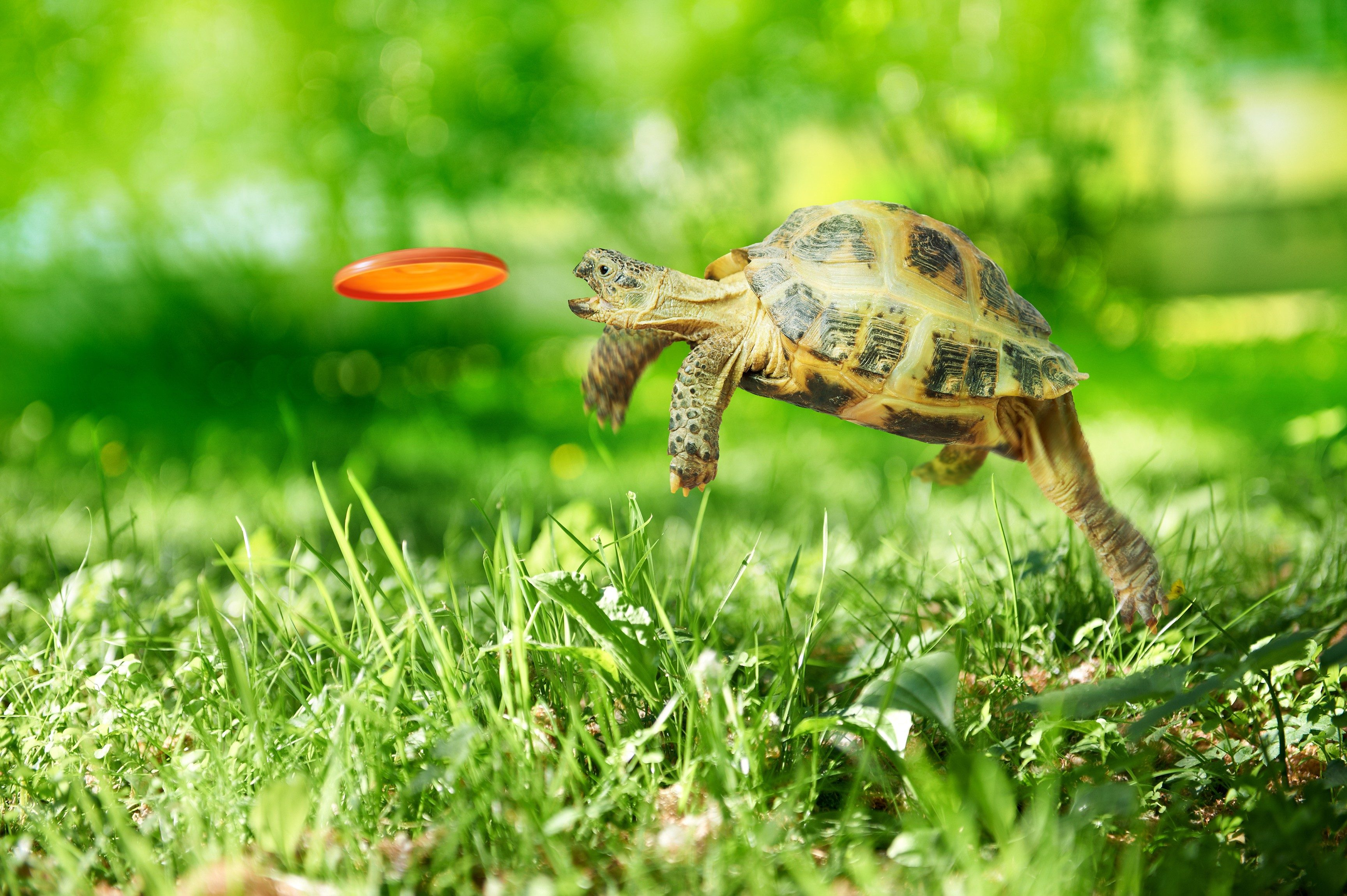 Turtle-jumps-and-catches-the-frisbee.jpg