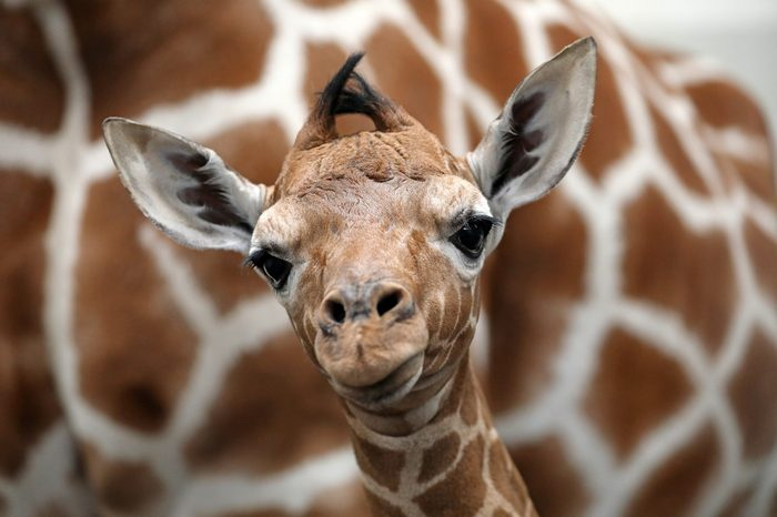Baby giraffe with mother