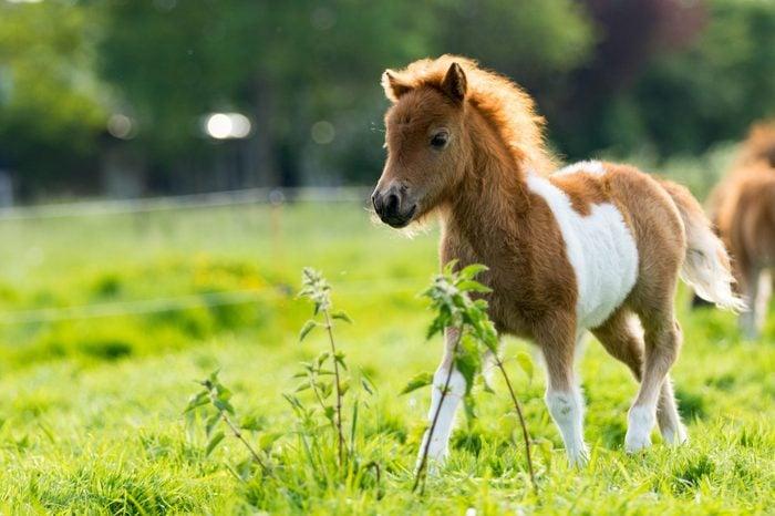 Cute shetland foal walking through the meadow, exploring the world.