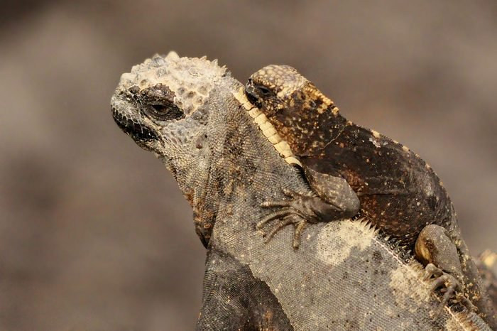 A baby marine iguana rides on the back of its mother isolated and protected from the chaos of a very large marine iguana colony on the Isabella Islands in the Galapagos, Ecuador