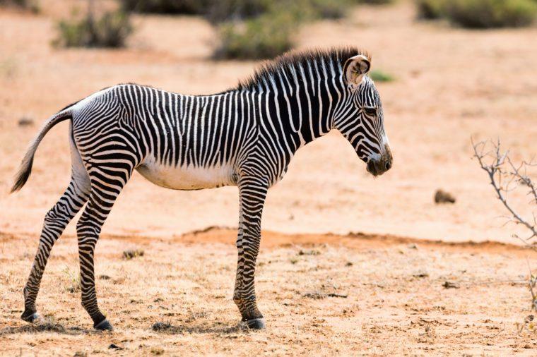 Grevys baby zebra v národnej rezervácii Samburu v Keni