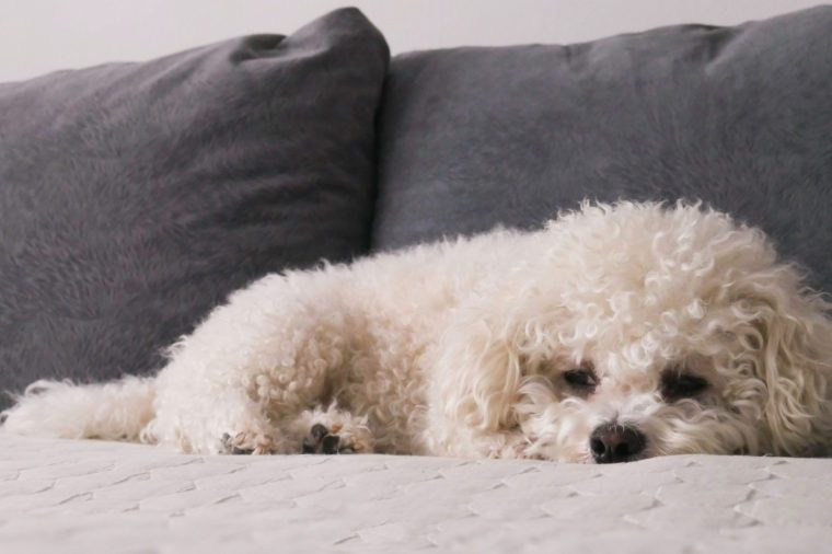 White Bichon Frise on bed