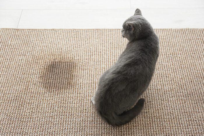 Cute cat on carpet near wet spot