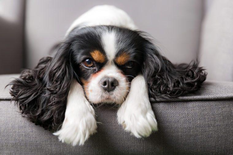 portrait of cute cavalier spaniel