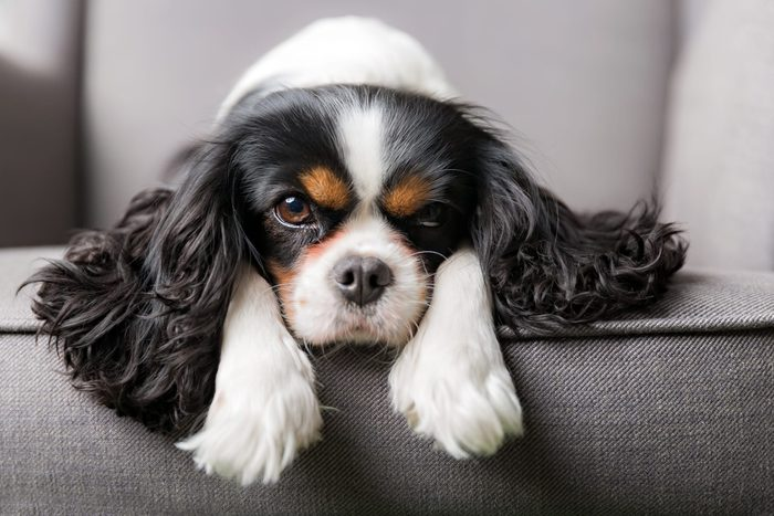 portrait of cute King Charles Cavalier spaniel on a gray couch