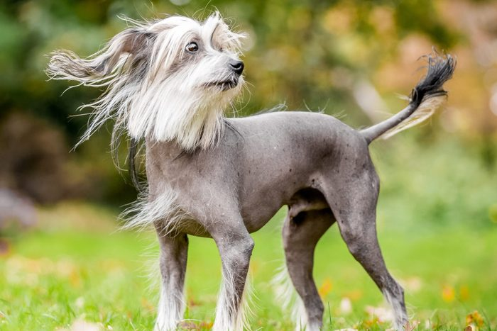 Chinese Crested Dog standing in the grass