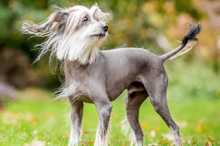 Chinese Crested Dog standing in the countryside looking across the side with hair blowing in the wind and tail up. A mostly hairless dog in a park, countryside meadow or field of grass. green