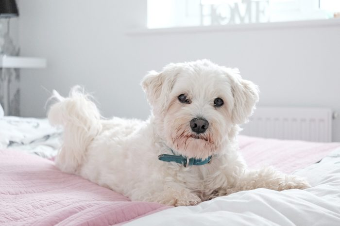 White fluffy Coton de tutelar dog lying on a bed looking happy. Mostly white image.