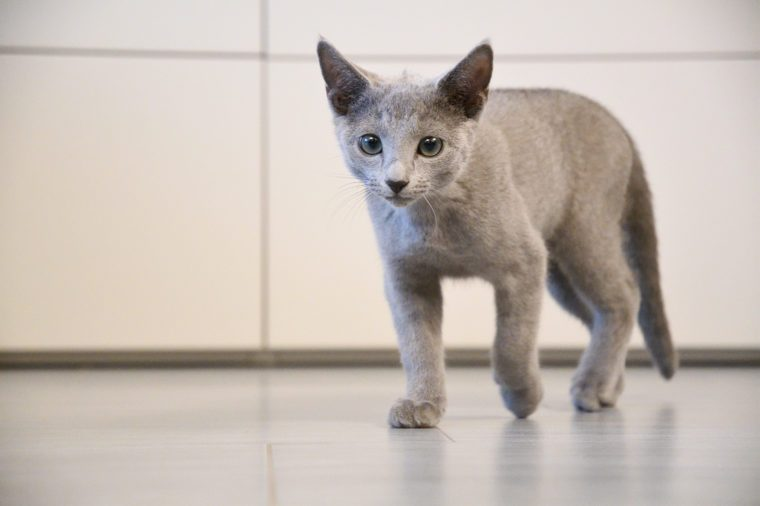cute grey puppy blue russian cat with green and blue eyes and big ears on grey floor and white and grey background walking ahead and looking with white and grey background