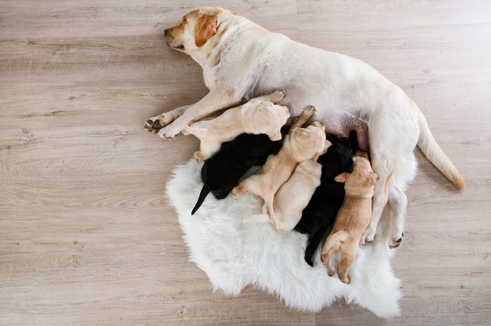 Labrador dog feeding her puppies at home
