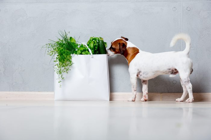 young Jack Russell Terrier dog near bag with organic herbs and vegetables on grey background