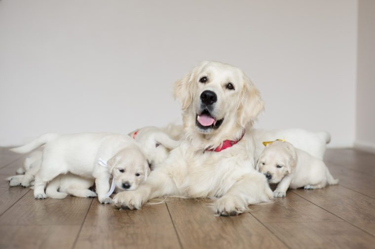 golden retriever dog with puppies indoors