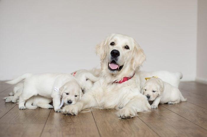 golden retriever dog with puppies indoors