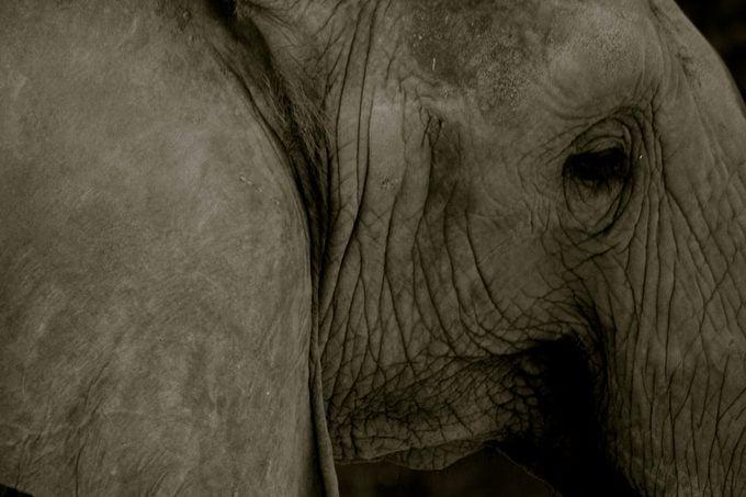 The elephant closeup black and white