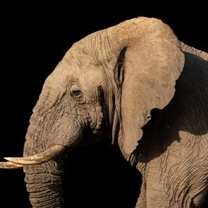 african elephant isolated on black background. head and partial body from side view. tusks and giant ear.  taken of live wild animal on safari