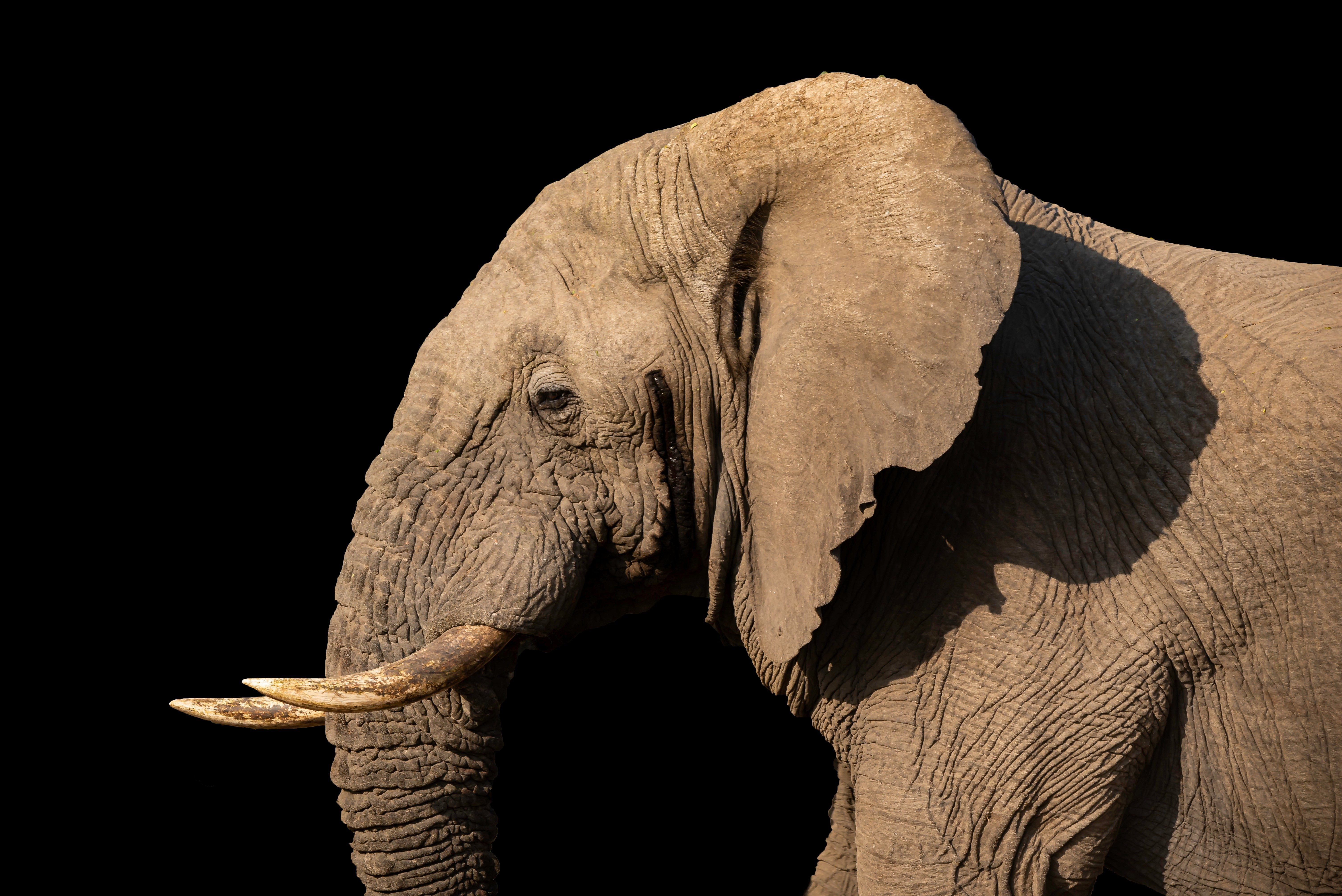 The Real Reason Elephants Have Big Ears Reader S Digest