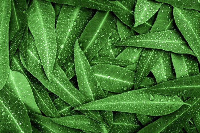 Nature green Eucalyptus leaves with raindrop background