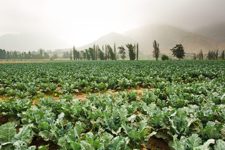 Cauliflower fields in the highlands