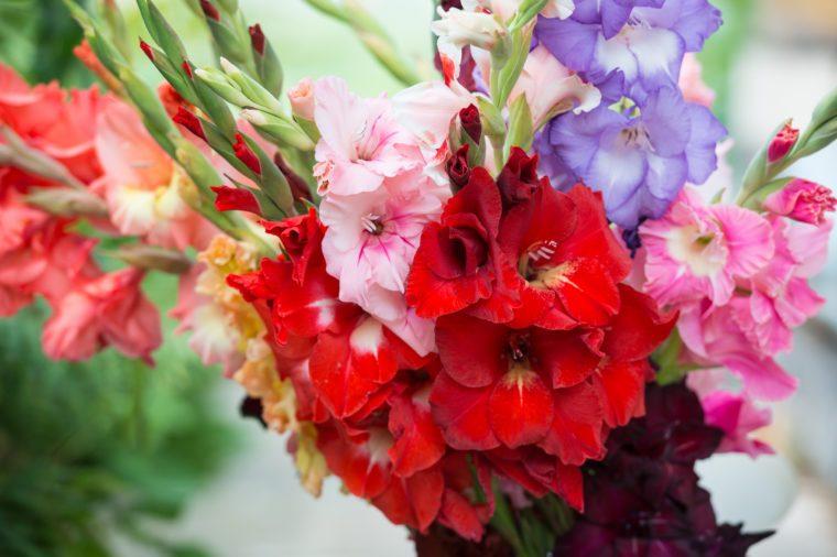 Colorful gladiolus