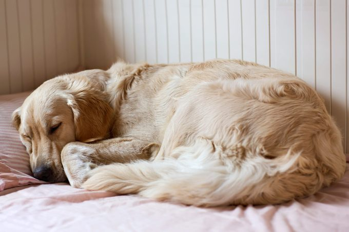 Dog sleeping on the bed - golden retriever