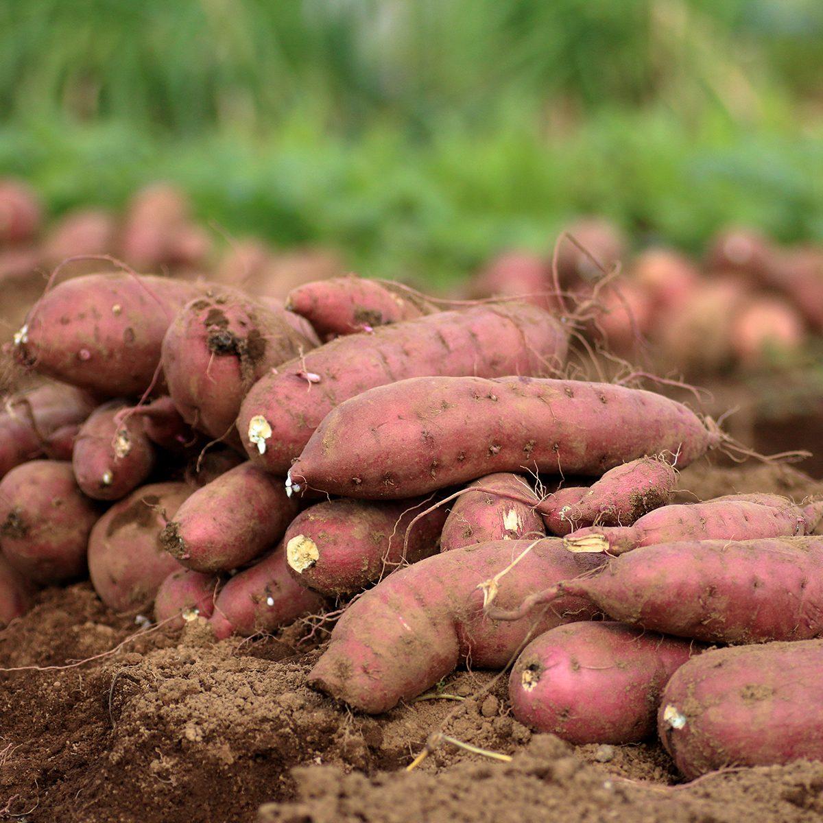 Harvesting sweet potatoes