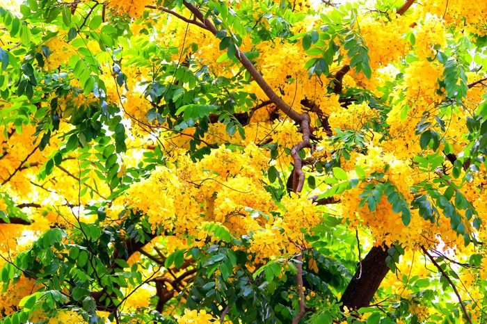 Hawaii golden shower tree