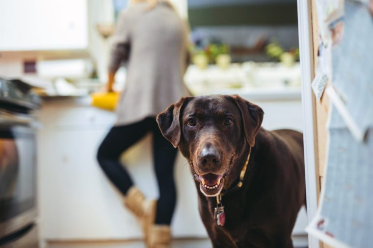 Cute Chocolate Lab in Kitchen Smiling at camera ears propped forward