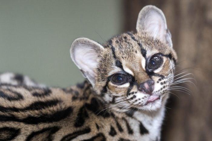 Margay, Leopardus wiedii, beautiful South American cat