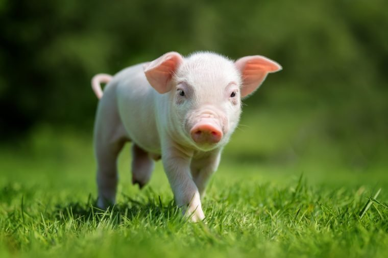Novorodené prasiatko na jarnej zelenej tráve na farme