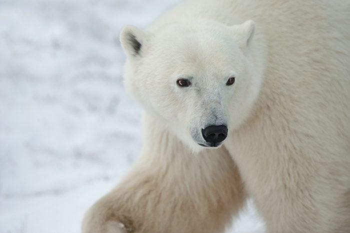 Portrait of a polar bear. Close up a portrait of a polar bear.