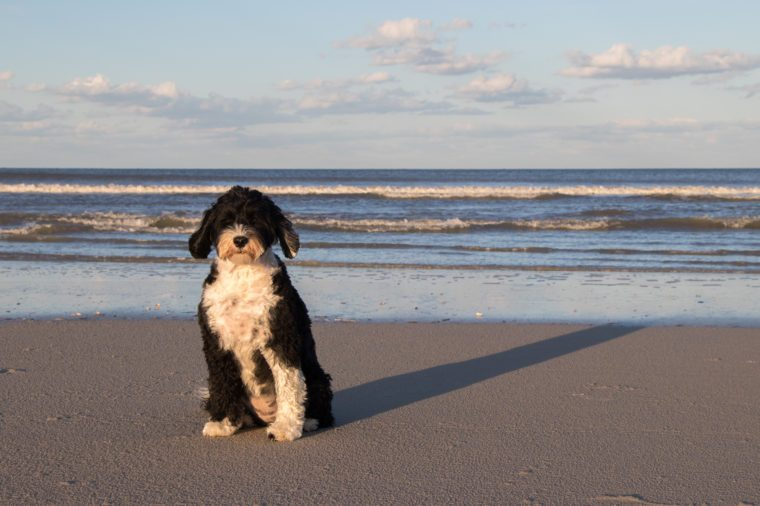 Black and white Portuguese Water Dog sitting on the beach