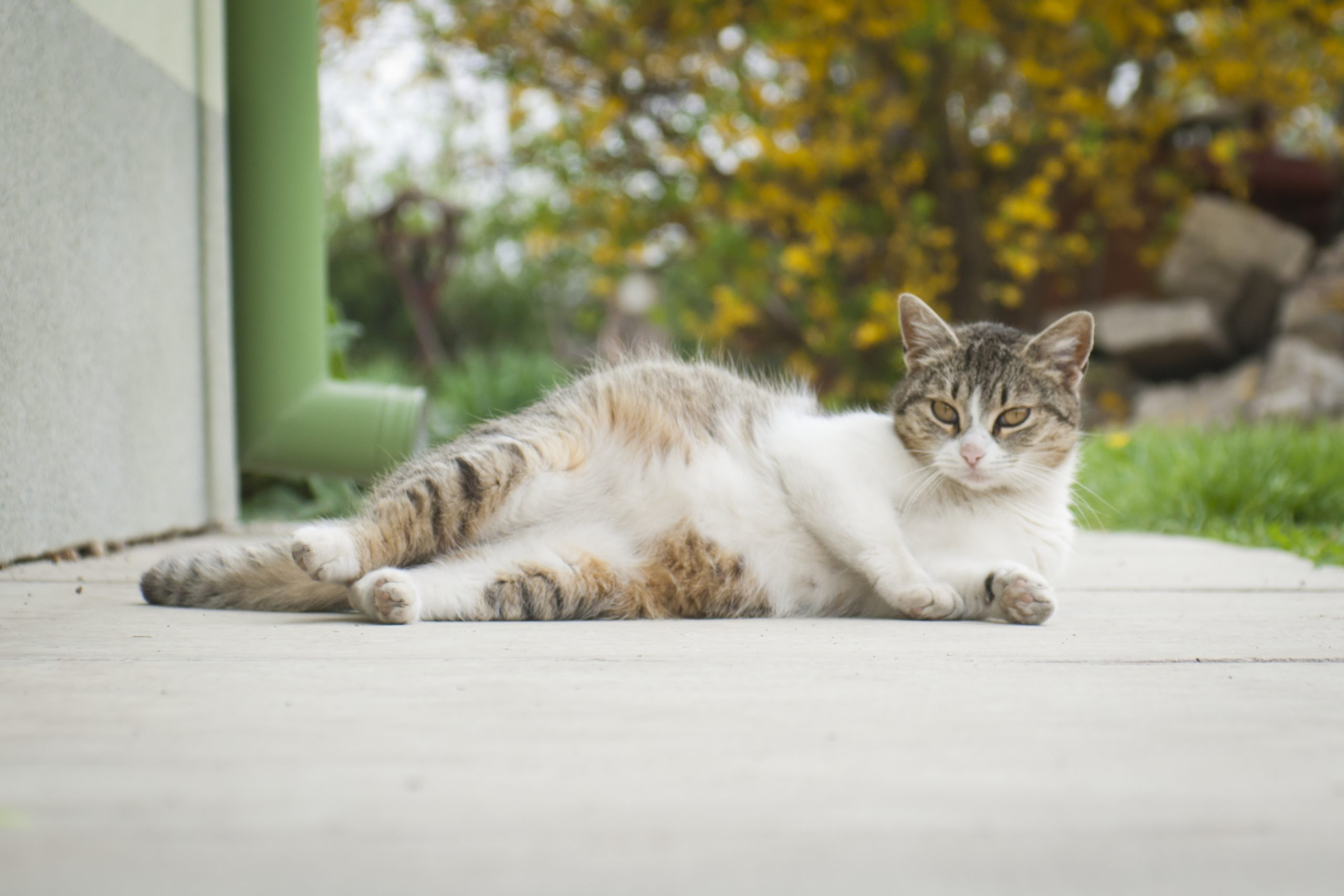 Pregnant cat lying outdoor with funny pose
