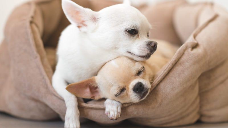 Two lovely, cute and beautiful domestic breed mammal chihuahua puppies friends lying, relaxing in dog bed. Pets resting, sleeping together. Pathetic and emotional portrait. Father and daughter photo.