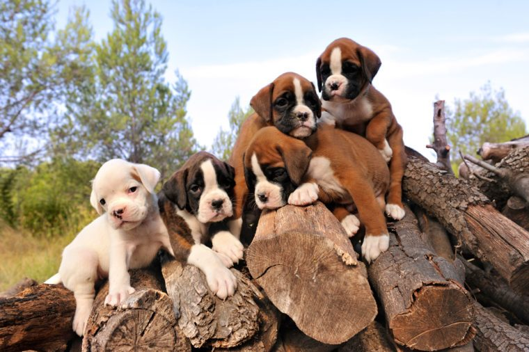 five purebred puppies boxer on the wood