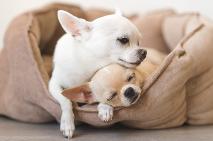 two chihuahuas cuddling in a dog bed